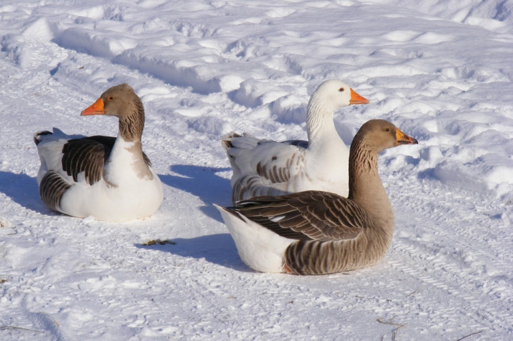 Gänse im Winter