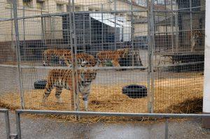 Tiger im Circus Krone - Verbot von Zirkussen mit Wildtieren in Dresden