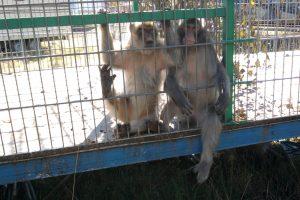 Affen im engen Käfig eines Zirkus-Wagens - Verbot von Zirkussen mit Wildtieren in Dresden