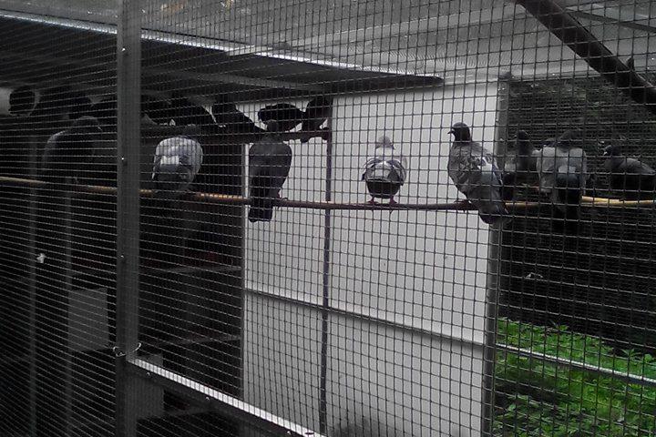 Es werden mehr und mehr Tauben